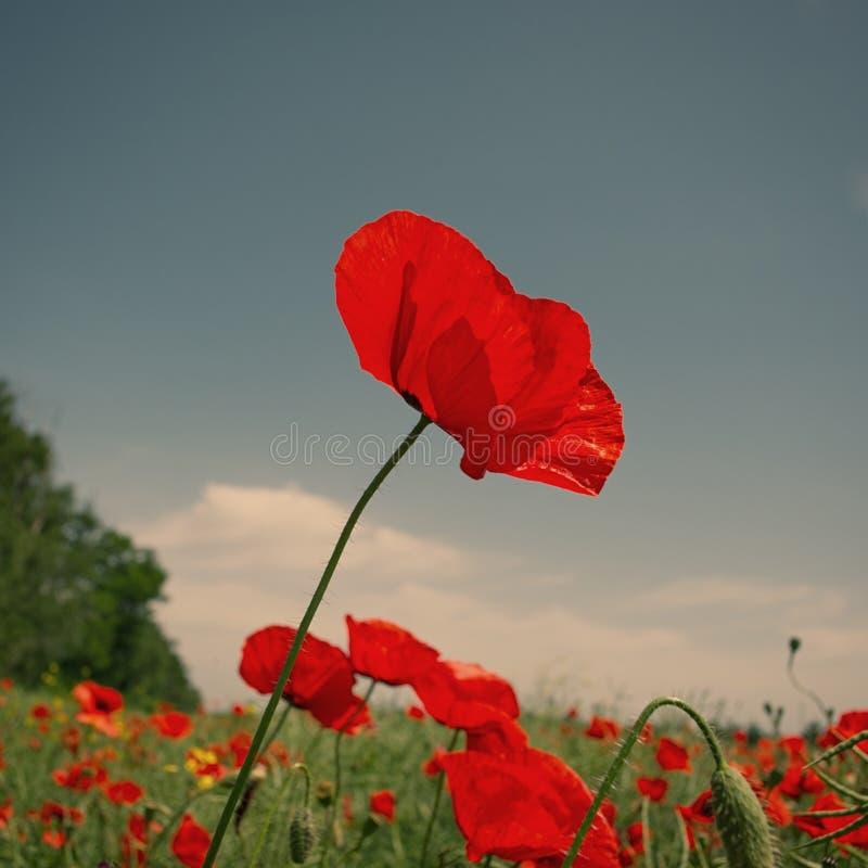 Röd blomma för fältvallmo på en bakgrund för blå himmel i ett fält arkivbilder
