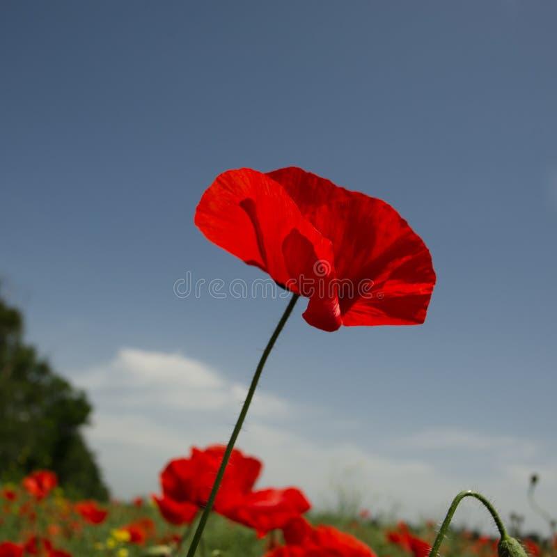Röd blomma för fältvallmo på en bakgrund för blå himmel i ett fält royaltyfri fotografi