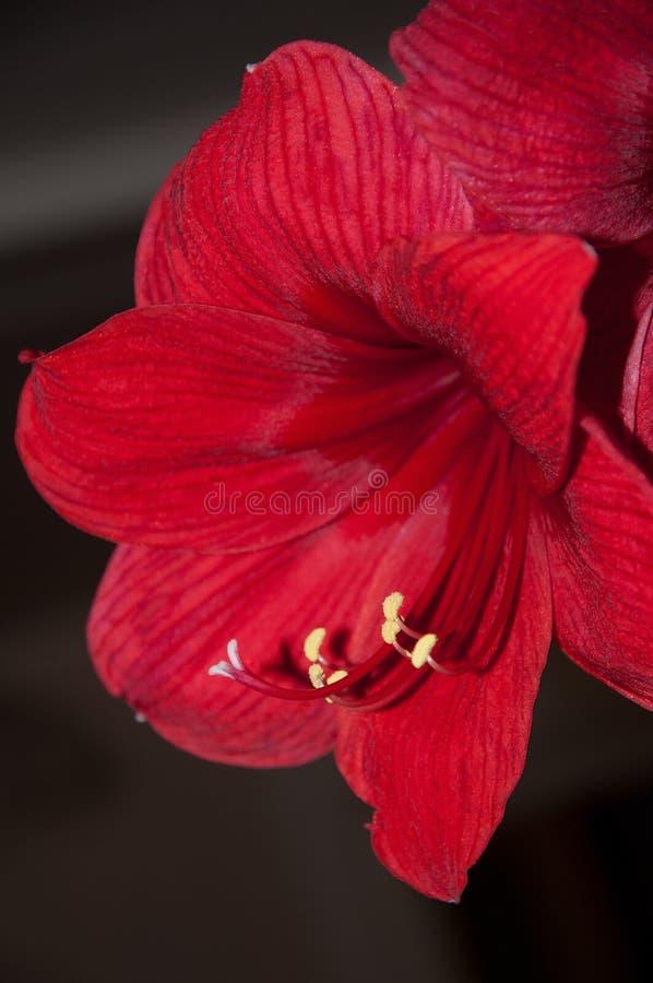 röd blomma för hippeastrumamaryllis på svart royaltyfria foton