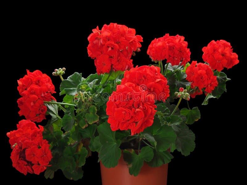 Röd blomma för pelargon i kruka arkivfoto