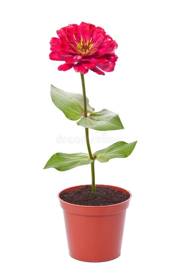 Röd blomma i en kruka royaltyfri foto
