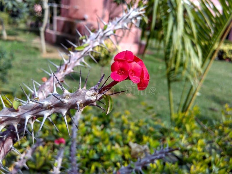 Röd blomma och taggar royaltyfri foto