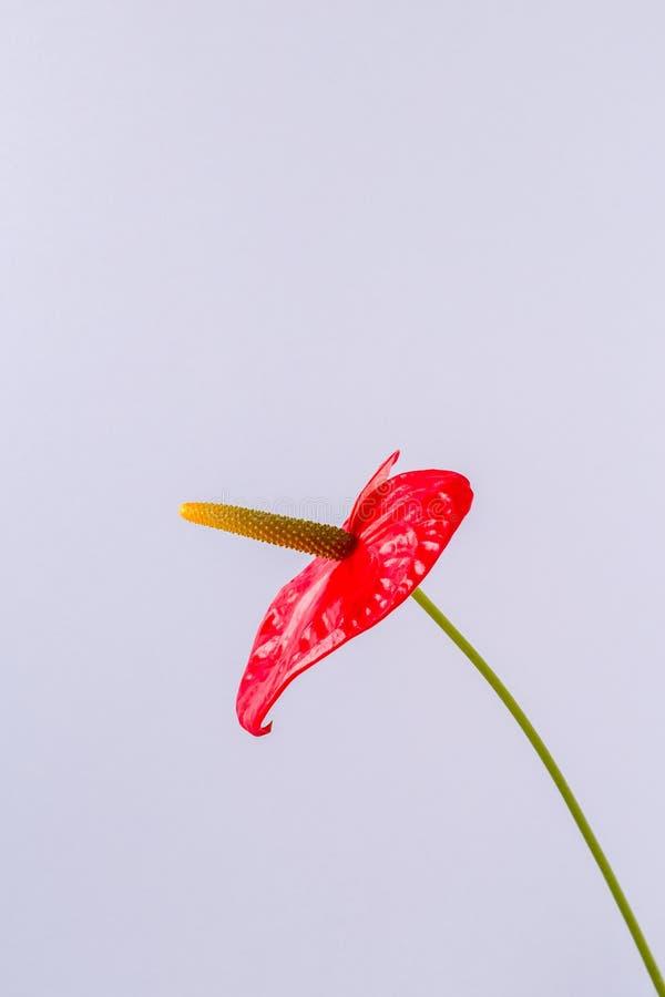 Röd blomma på en ljus kulör bakgrund arkivfoton