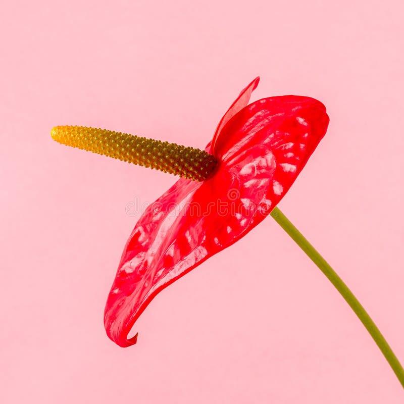 Röd blomma på en ljus kulör bakgrund royaltyfria bilder