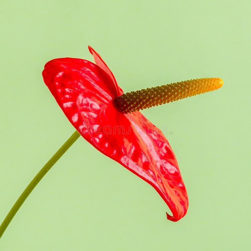 Röd blomma på en ljus kulör bakgrund arkivbild