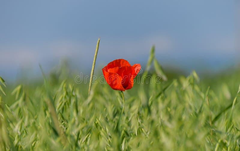 Röd blomma på ett vetegräsplanfält royaltyfria bilder