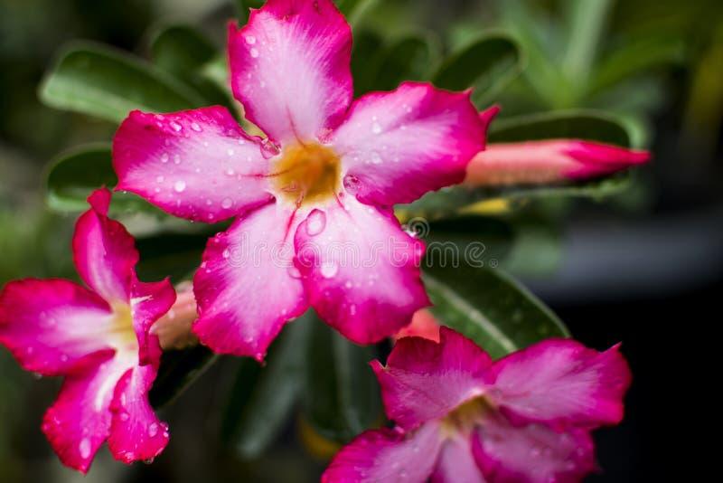 röd blommaadeniumobesum arkivfoton