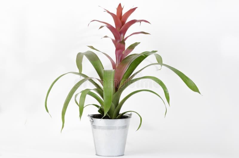 Röd blommaBromeliaceae Guzmania arkivbilder