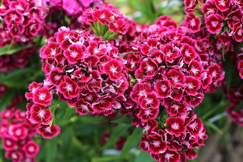 Röd blommaflox som växer i trädgården royaltyfri fotografi