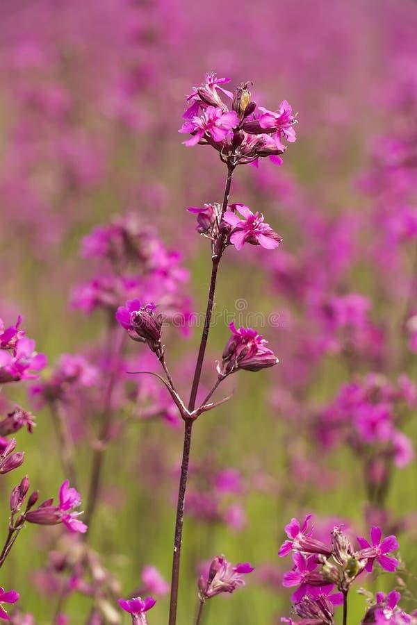 Röd blommaglim för fält royaltyfria bilder