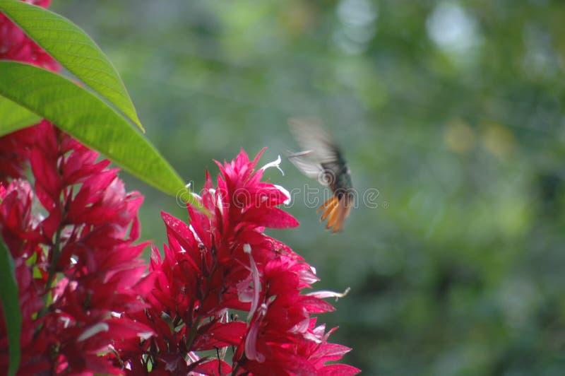 Röd blommahärmfågel arkivbilder