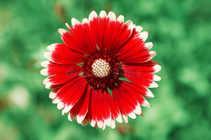 Röd blommamakro som skjutas över suddig gräsplan royaltyfri fotografi
