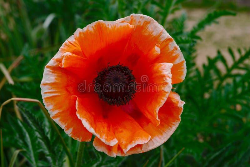 Röd blommaPapaver Orientalis för orientalisk vallmo arkivfoton