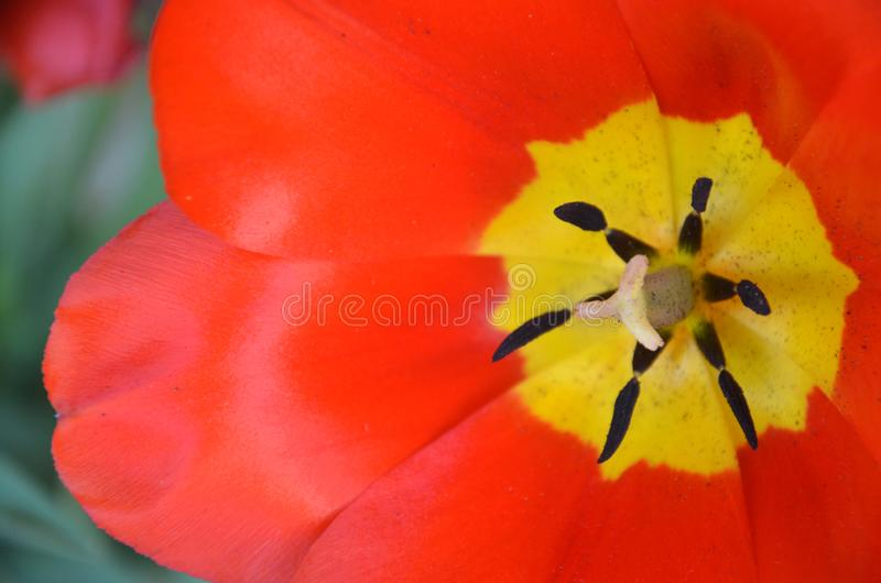 Röd blommatulpan fotografering för bildbyråer
