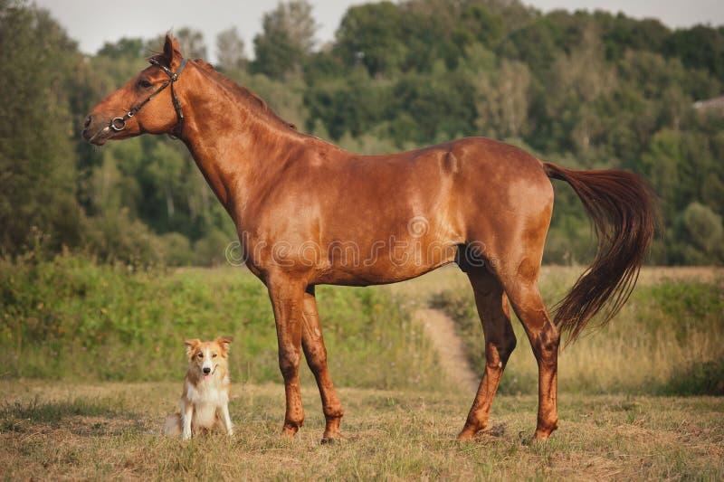Röd border collie hund och häst royaltyfria bilder