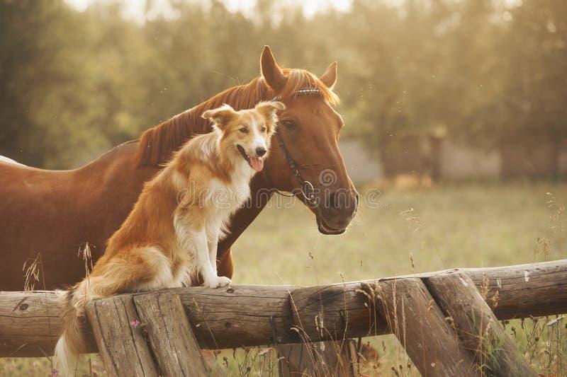 Röd border collie hund och häst arkivfoto