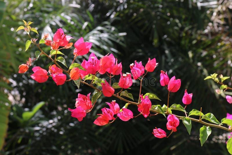 Röd bougainvilleablomma på dagsljus, doftande rosa färger för Panicle grupp och lilor, blomma med suddig bakgrund arkivfoton