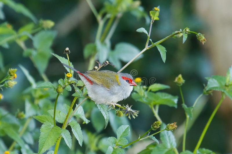 Röd-browed firetailfink arkivfoton