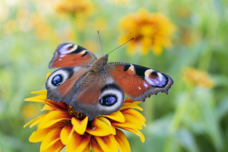 Röd-brunt fjäril, Aglais io eller påfågelöga, fotografering för bildbyråer