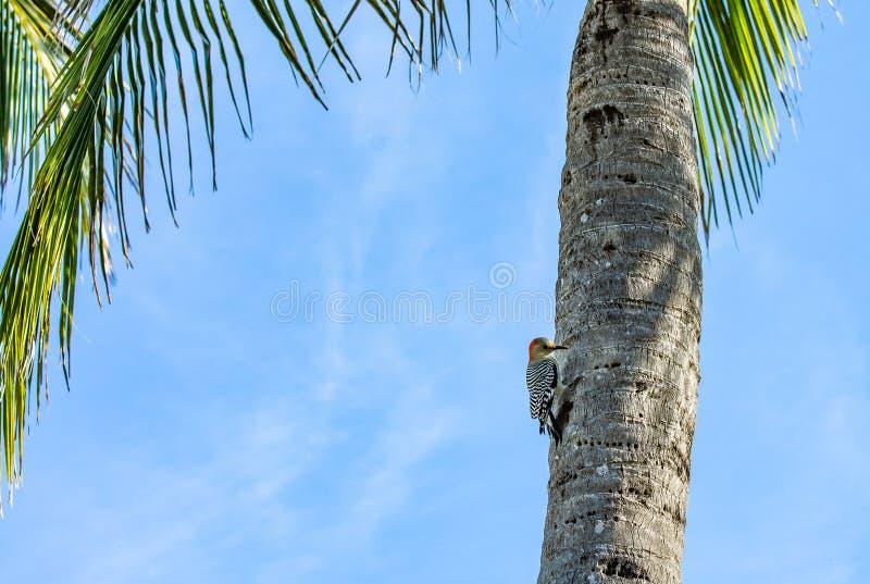 Röd buktad hackspett som pickar på en palmträd royaltyfria foton