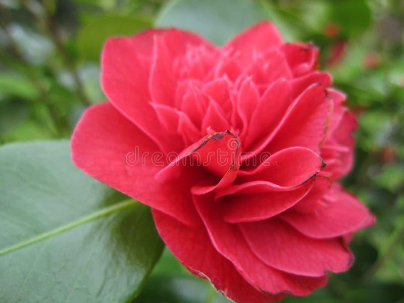 Röd camellia royaltyfria bilder