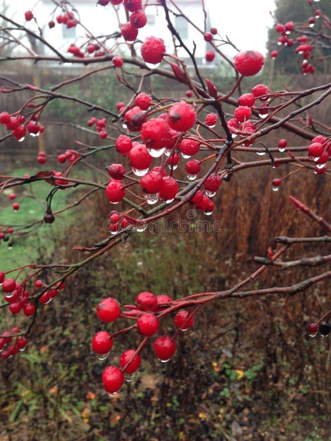 Röd Chokeberry royaltyfri foto