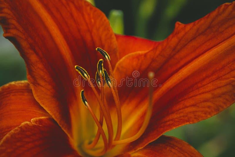 Röd closeup för blomma för tigerlilja arkivfoton