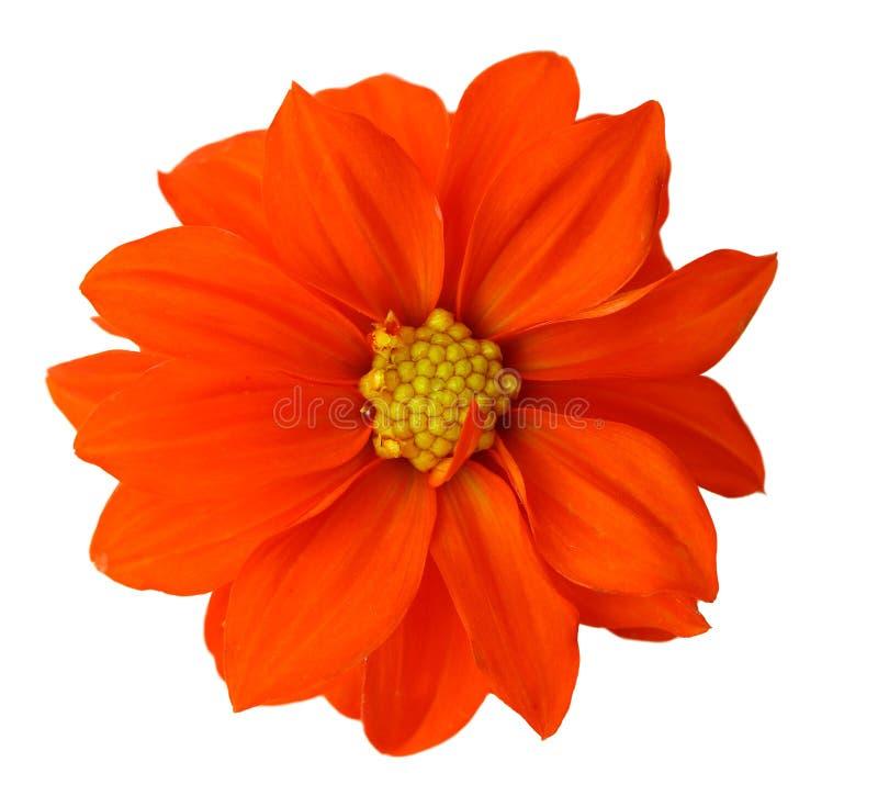 Röd Dahlia arkivfoto