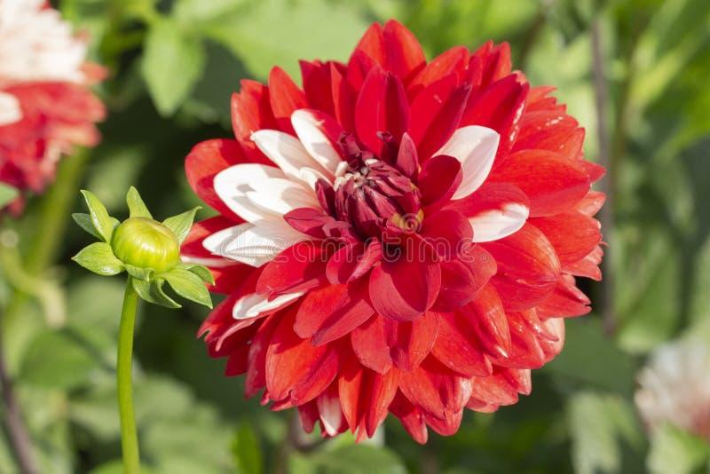 Röd dahliablomma som strös in med vita kronblad Stor röd frotté för krysantemum för hattblommadahlia med vita fjädrar Tr?dg?rd royaltyfri bild