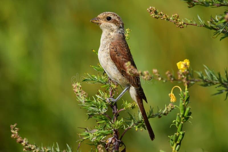 Röd-dragen tillbaka törnskatafågel royaltyfri foto