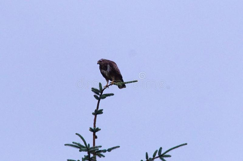 Röd drake som sätta sig på en trädöverkant som håller ögonen på för rov arkivbild
