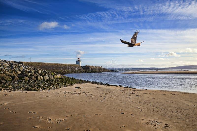 Röd drakefågel som flyger över Burry port royaltyfri fotografi