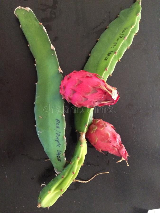 Röd drakefrukt arkivbild