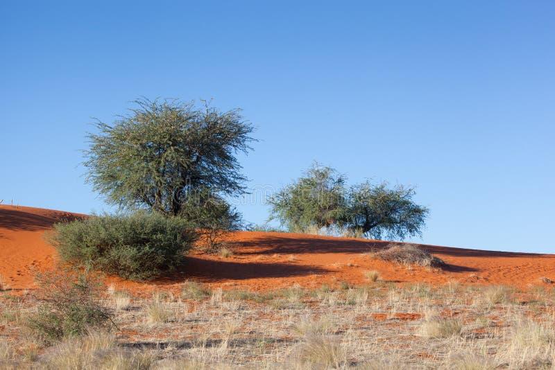 Röd dyn Kalahari arkivbild