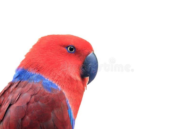 röd eclectus arkivfoto