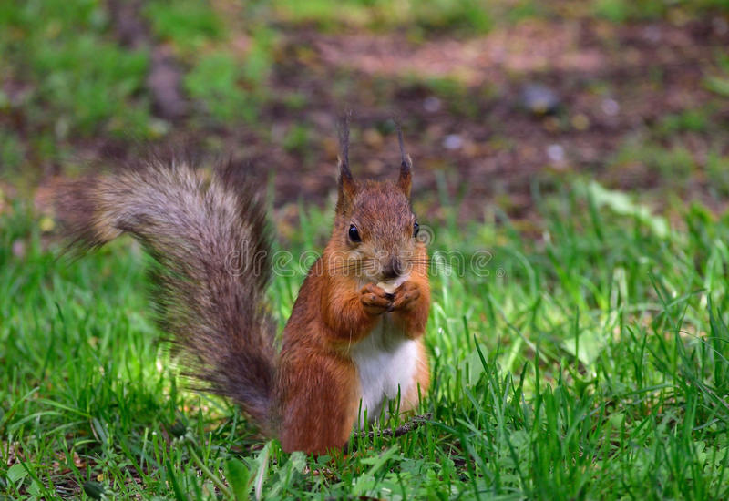 Röd ekorre som äter en mutter på gräset fotografering för bildbyråer