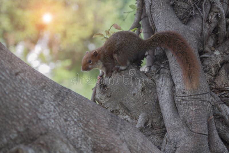 Röd ekorre som klamra sig fast intill ett träd royaltyfri bild
