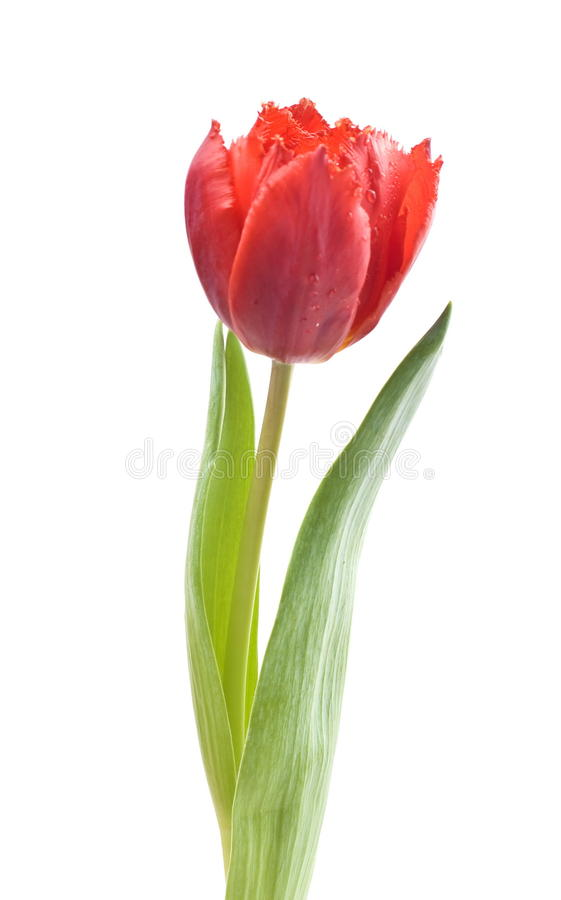 röd enkel tulpan royaltyfri bild