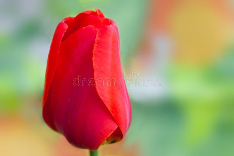 röd enkel tulpan arkivfoto