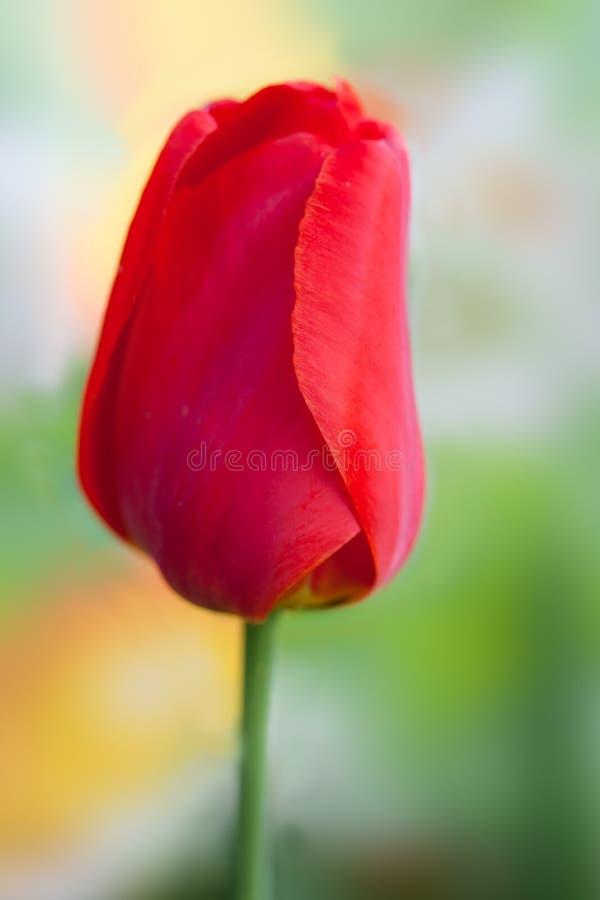 röd enkel tulpan royaltyfri fotografi