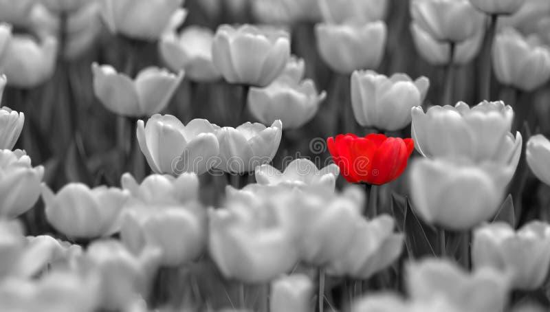 röd enkel tulpan för colorless fält arkivfoto