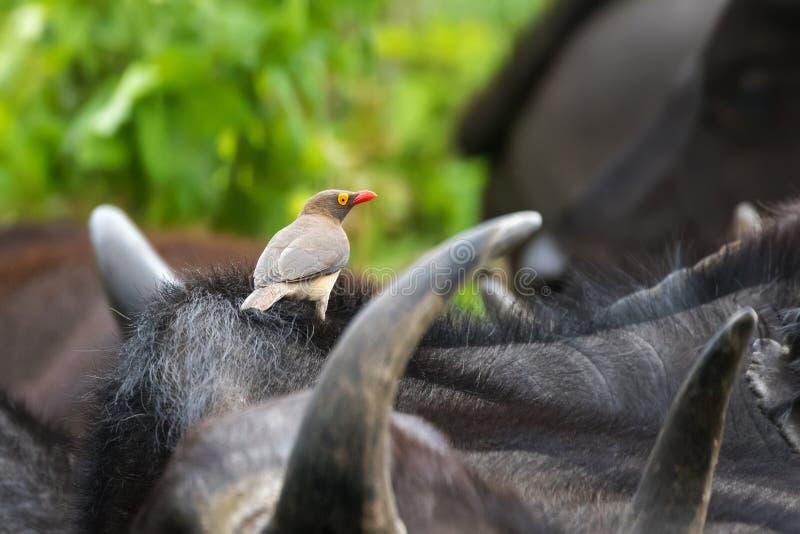 Röd-fakturerad afrikansk fågel för oxpecker på uddebuffel på den Serengeti nationalparken i Tanzania, East Africa royaltyfri fotografi