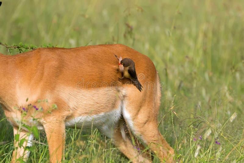 Röd-fakturerad afrikansk fågel för oxpecker som drar päls av impalan för att göra redet på Serengeti i Tanzania, Afrika royaltyfri bild