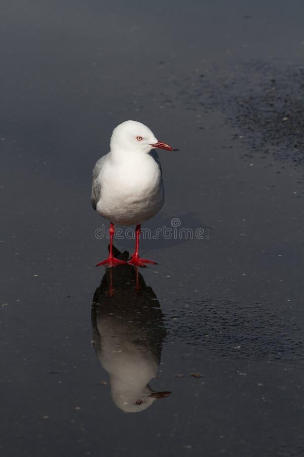 Röd-fakturerad fiskmåsreflexion fotografering för bildbyråer
