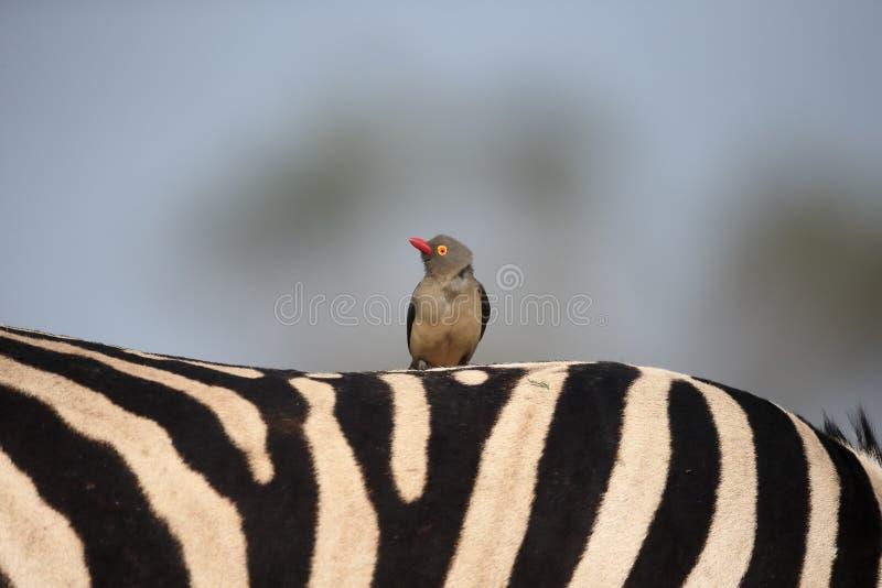 Röd-fakturerad oxpecker, Buphagus erythrorhynchus royaltyfri fotografi