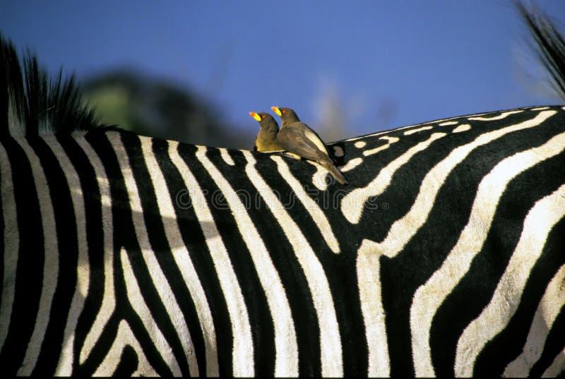 Röd-fakturerad oxpeckerfågel på en sebrabaksida Zimbabwe royaltyfria bilder