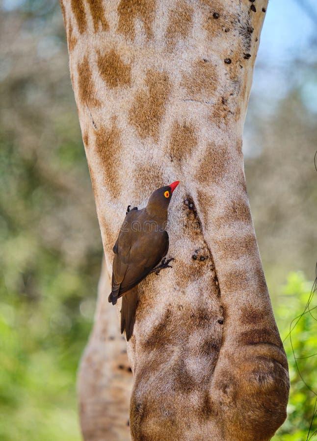 Röd-fakturerad oxpeckermatning royaltyfri fotografi
