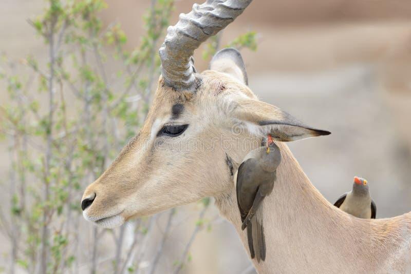 Röd-fakturerad oxpeckerplockning på impala arkivfoto