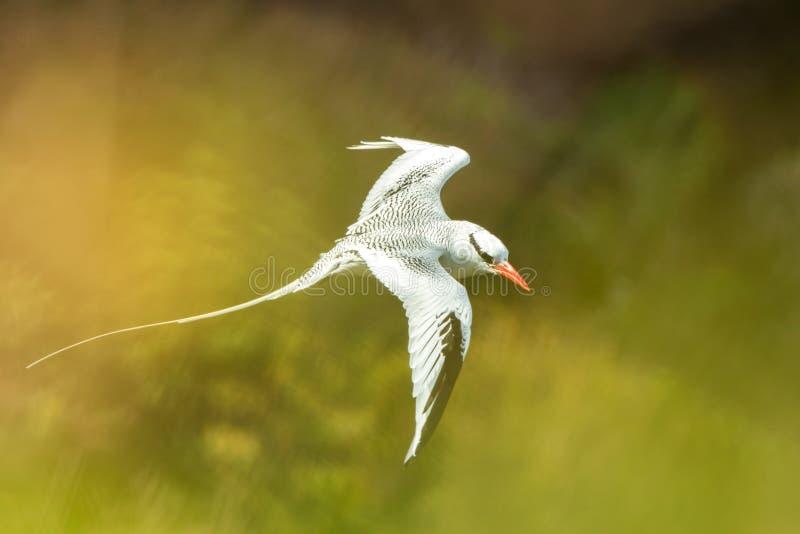 Röd-fakturerat flyg för Tropicbird Phaethonaethereus över Stilla havet nära Galapagos öar, härlig vit fågel royaltyfri fotografi