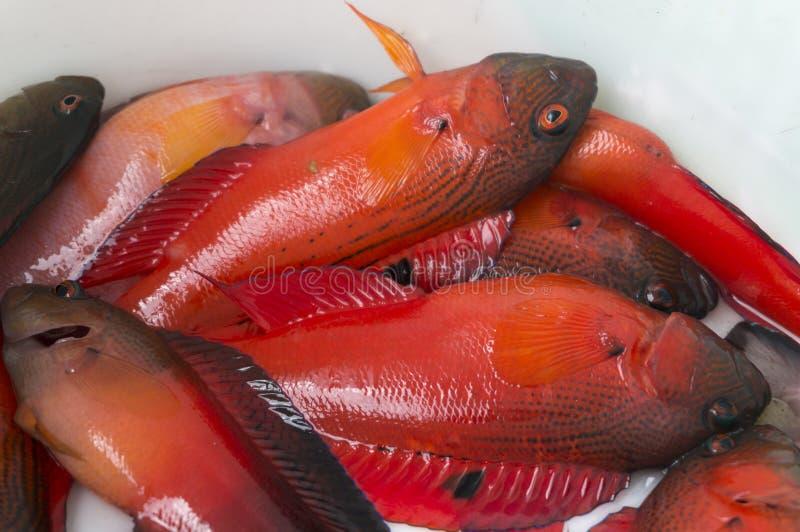 Röd fisk royaltyfria bilder